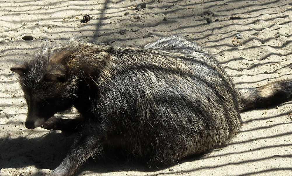 Енотовидная собака - Nyctereutes procyonoides  (фото 863)