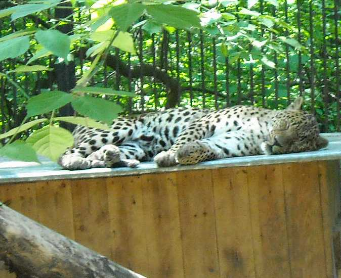 Кавказский леопард - Panthera pardus ciscaucasica  (фото 883)