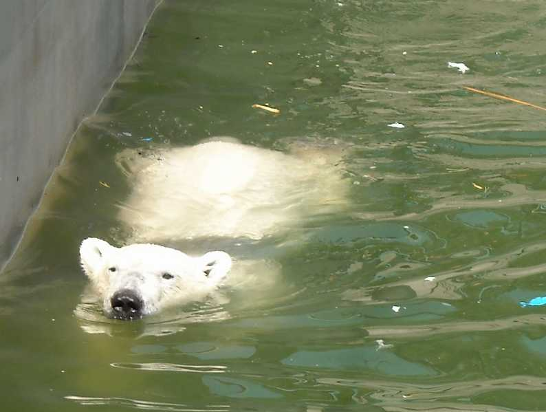 Белый медведь - Ursus maritimus  (фото 900)
