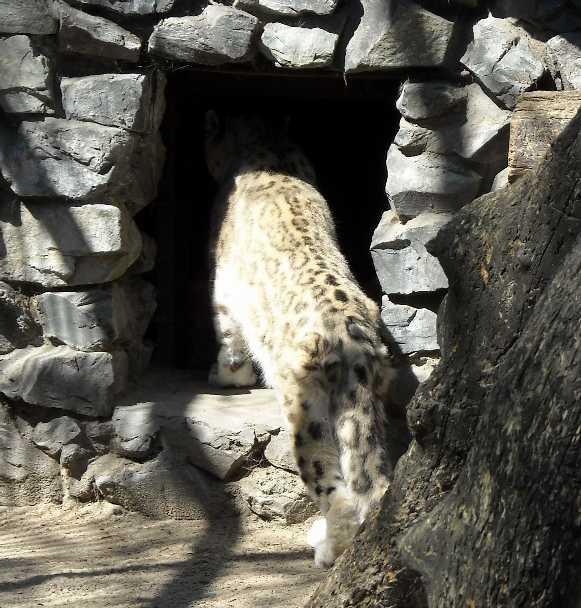 Снежный барс - Panthera uncia  (фото 917)