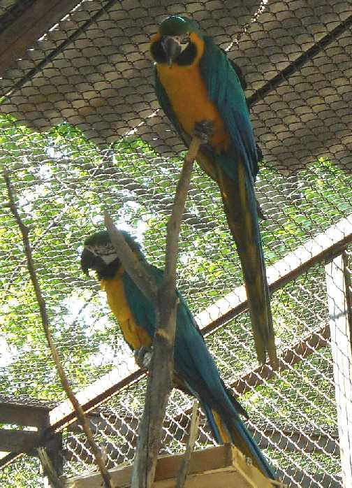 Сине-желтый ара - Ara ararauna  (фото 944)