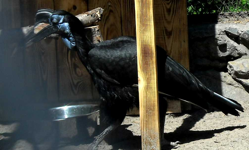 Абиссинский рогатый ворон - Bucorvus abyssinicus  (фото 961)