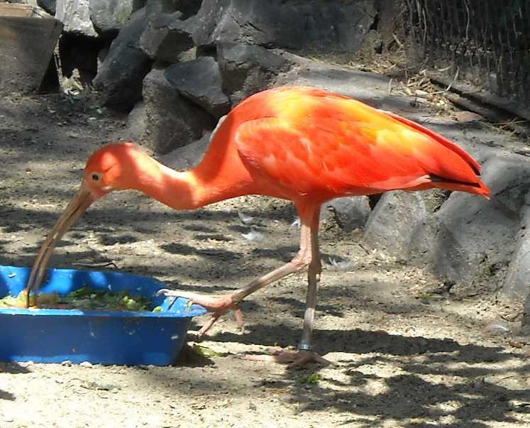 Красный ибис - Eudocimus ruber  (фото 973)