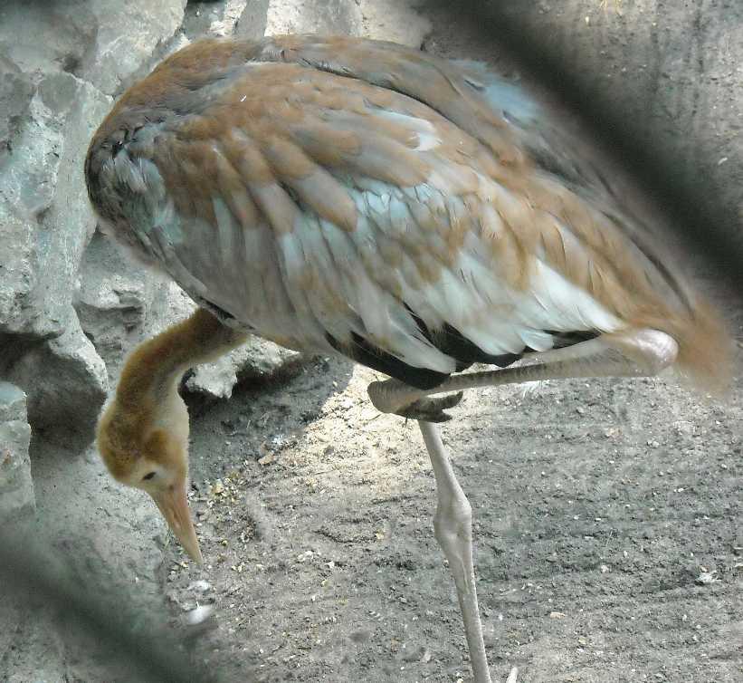Аист черный - Ciconia nigra  (фото 976)