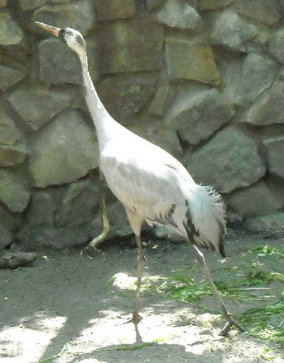 Серый журавль - Grus grus  (фото 978)