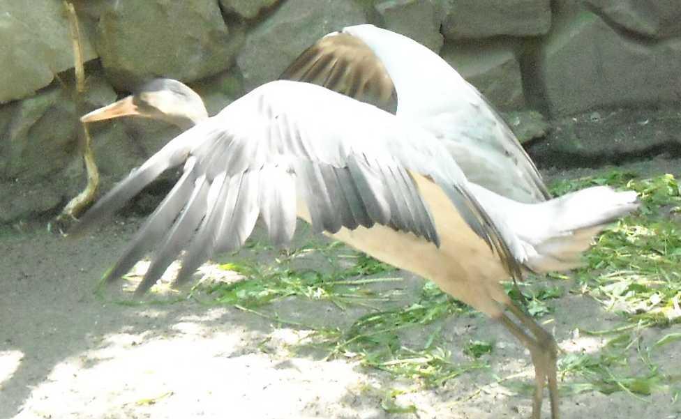 Серый журавль - Grus grus  (фото 980)