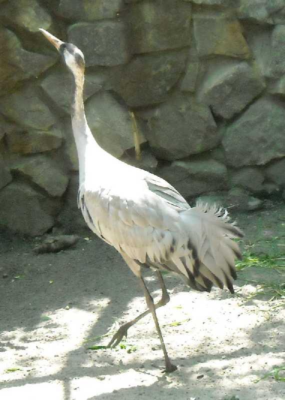 Серый журавль - Grus grus  (фото 981)