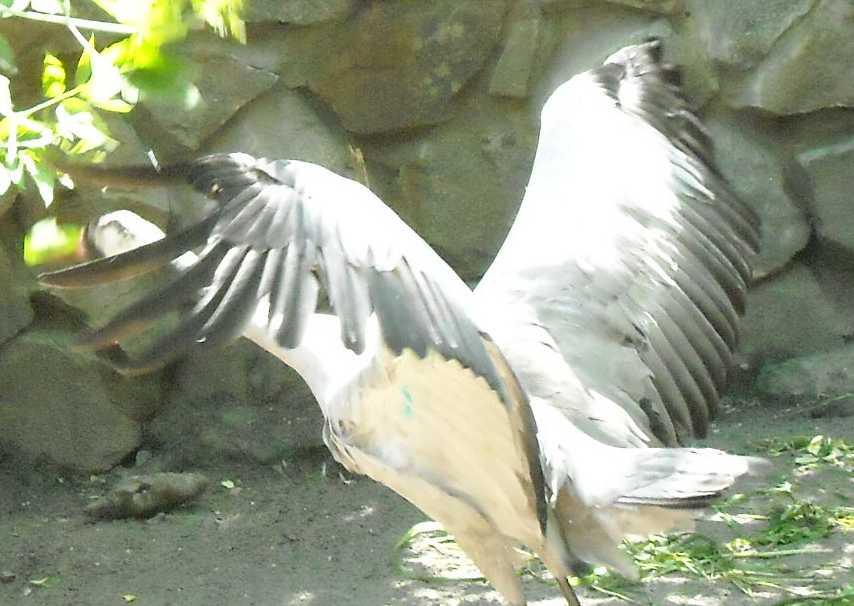 Серый журавль - Grus grus  (фото 982)