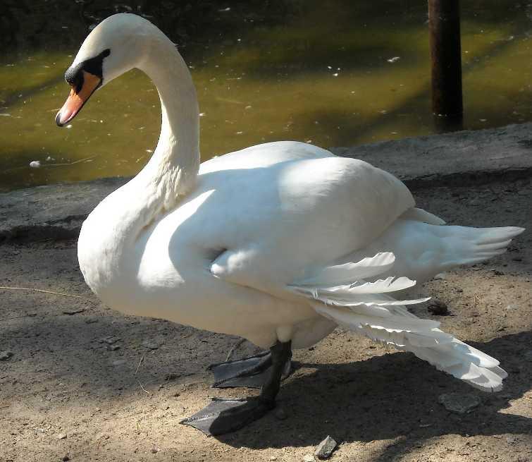 Лебедь-кликун - Cygnus cygnus cygnus  (фото 1001)