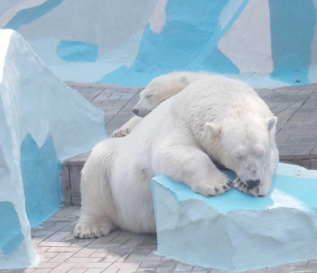 Белый медведь - Ursus maritimus  (фото 10042)