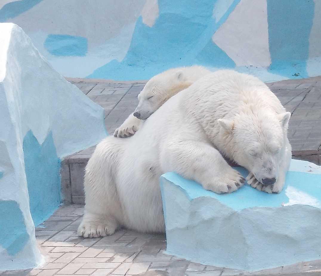 Белый медведь - Ursus maritimus  (фото 10043)