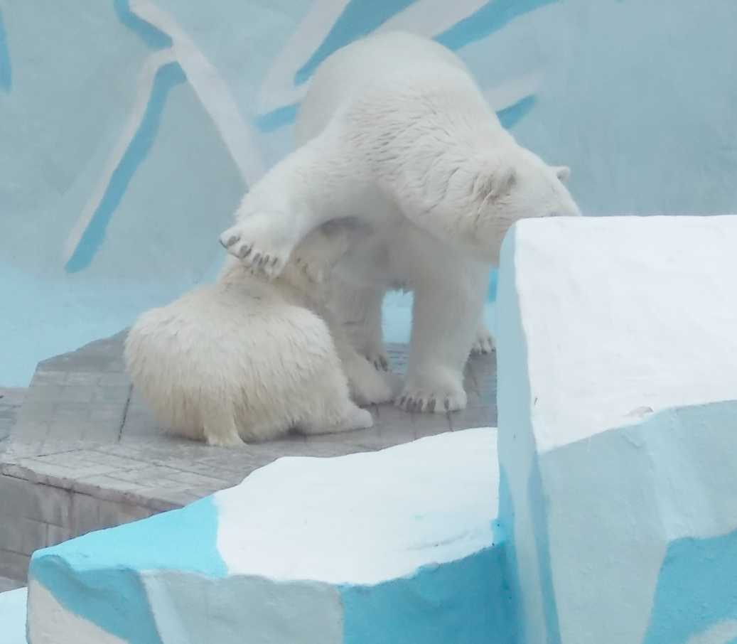 Белый медведь - Ursus maritimus  (фото 10095)