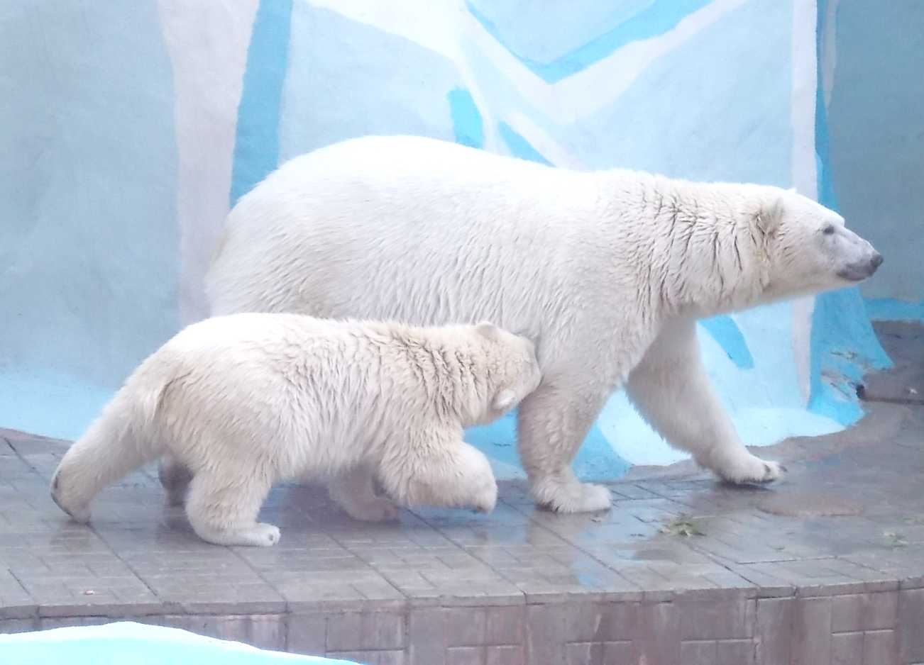 Белый медведь - Ursus maritimus  (фото 10096)