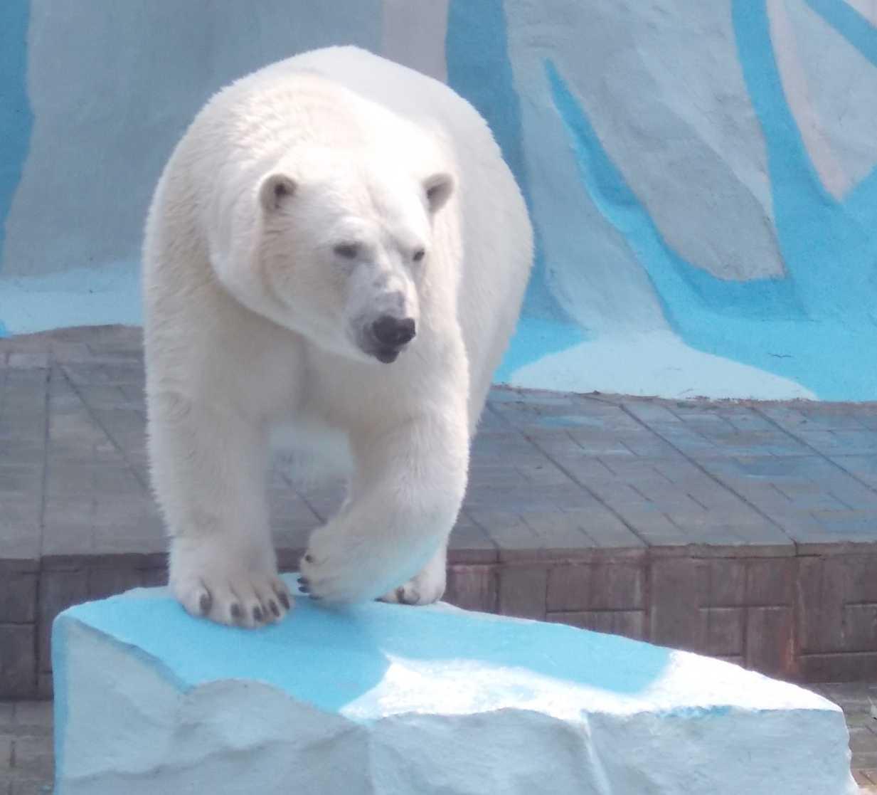 Белый медведь - Ursus maritimus  (фото 10097)