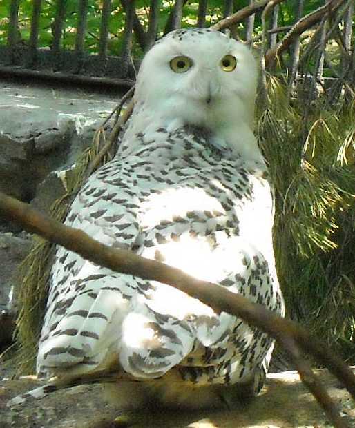 Белая сова - Nyctea scandiaca  (фото 1012)
