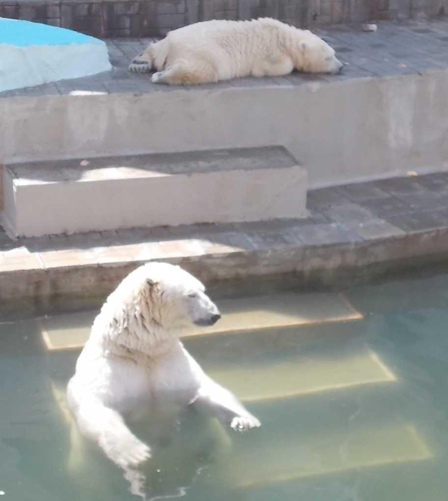 Белый медведь - Ursus maritimus  (фото 10127)
