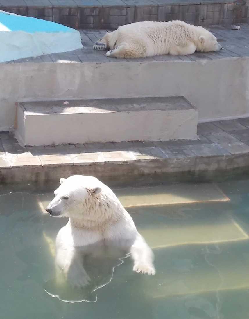 Белый медведь - Ursus maritimus  (фото 10128)