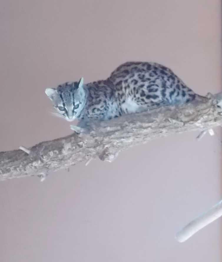 Маргай - Leopardus wiedii  (фото 10141)