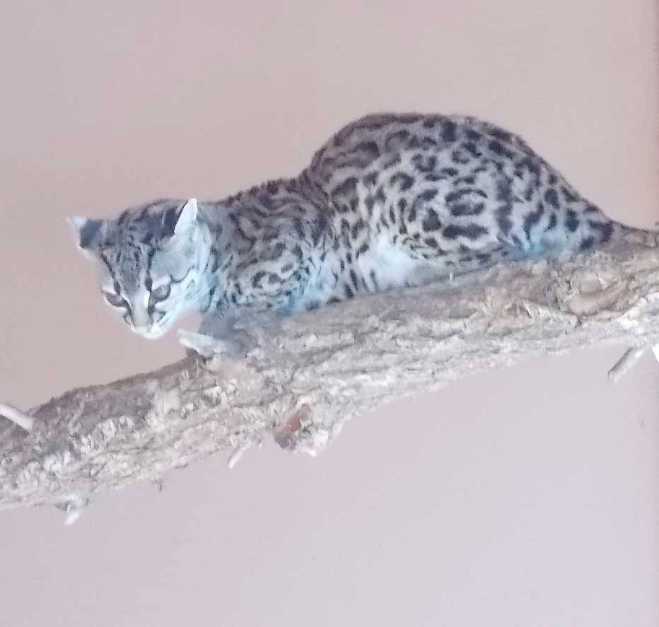 Маргай - Leopardus wiedii  (фото 10142)