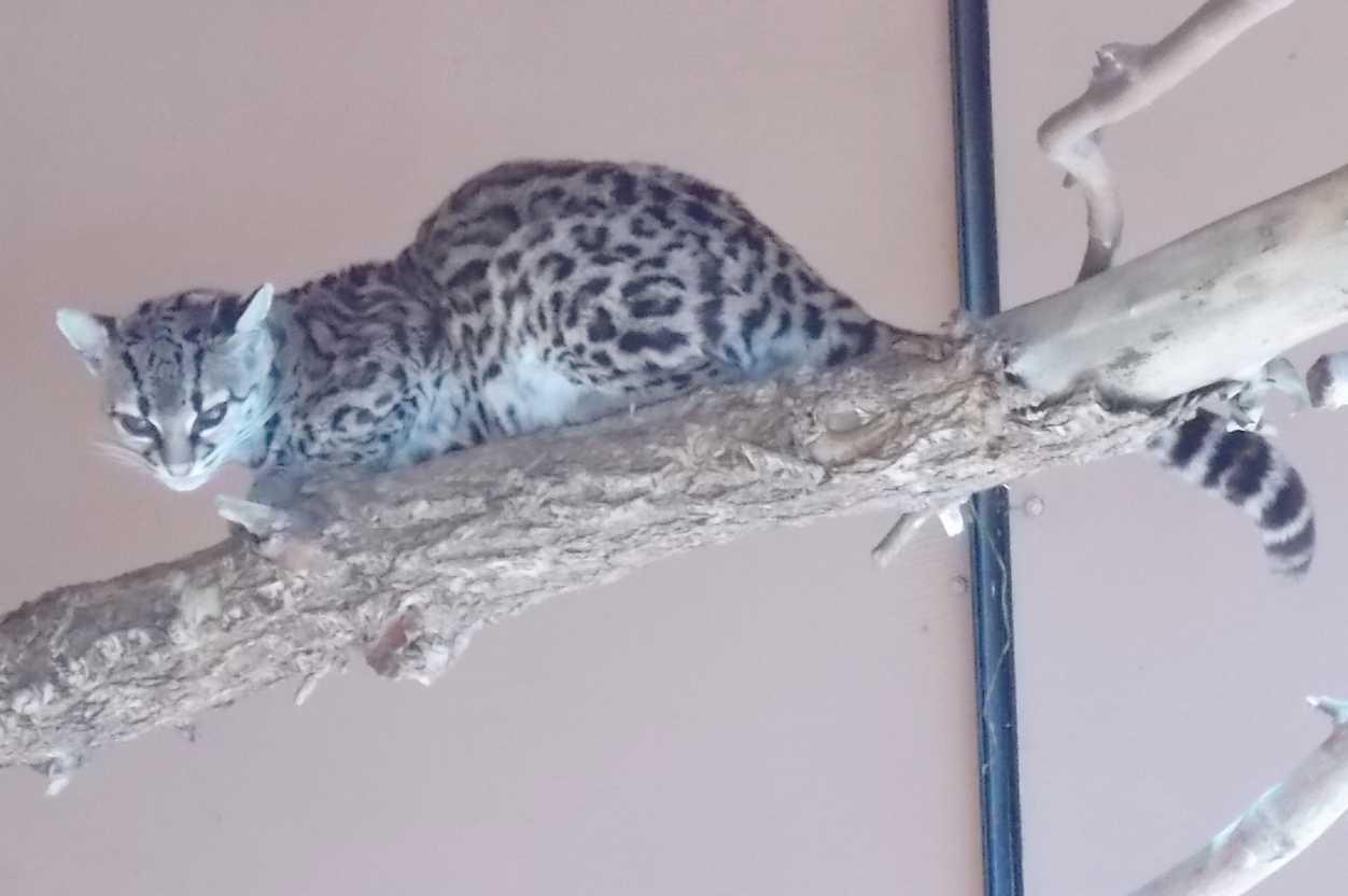 Маргай - Leopardus wiedii  (фото 10143)