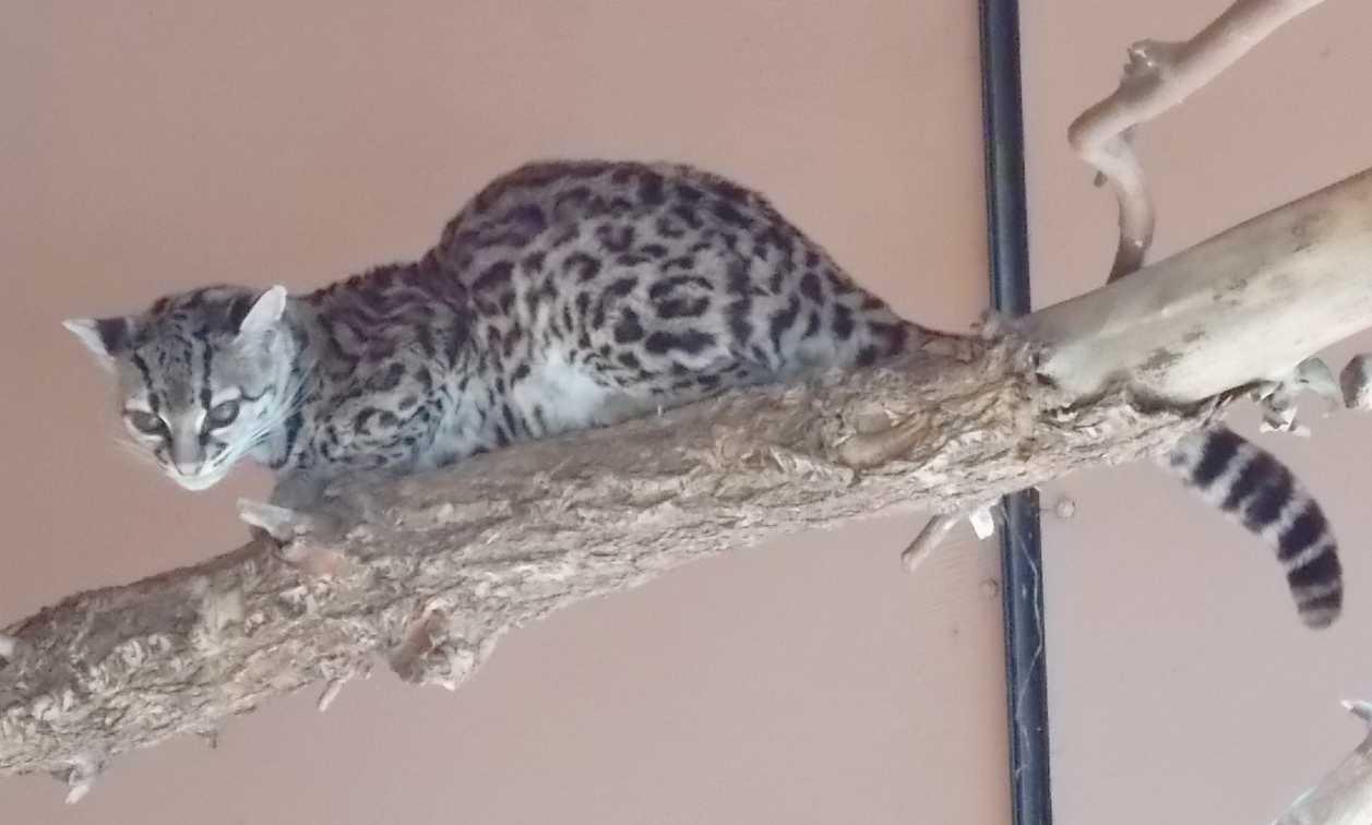 Маргай - Leopardus wiedii  (фото 10144)
