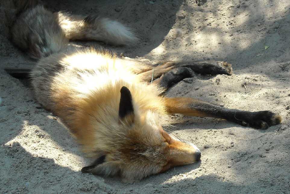Обыкновенная лисица - Vulpes vulpes vulpes  (фото 1017)