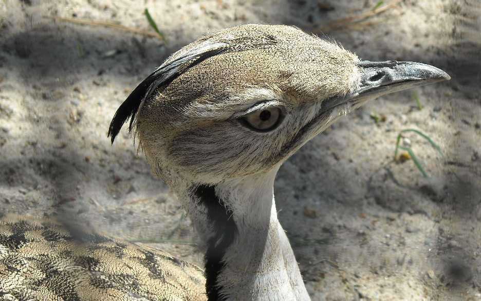 Джек - Chlamydotis undulata  (фото 1035)