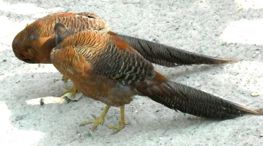 Золотой фазан - Chrysolophus pictus  (фото 1040)