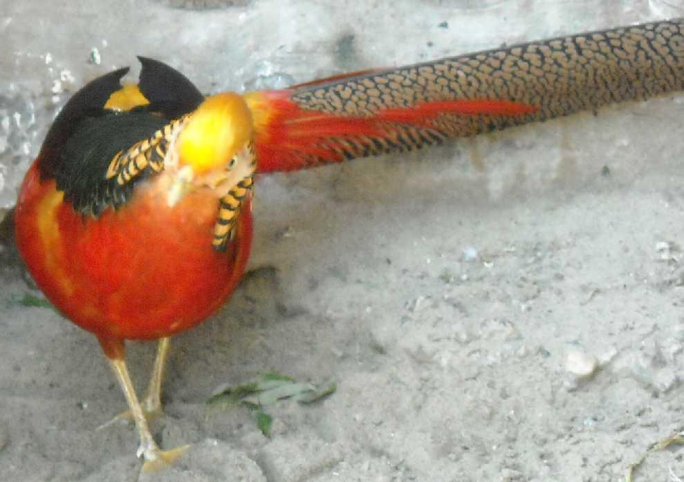 Золотой фазан - Chrysolophus pictus  (фото 1050)
