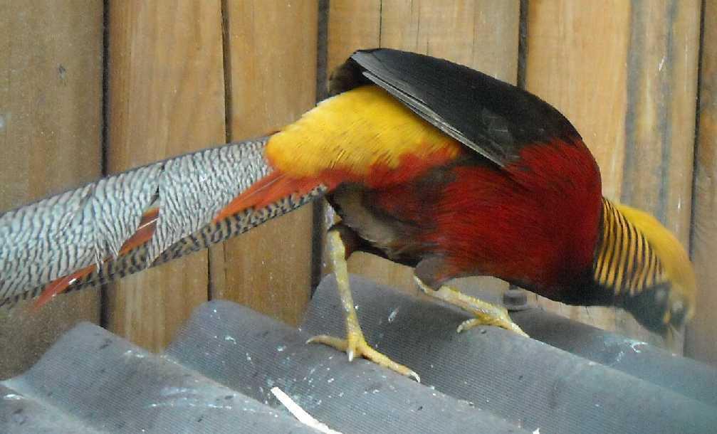 Золотой фазан - Chrysolophus pictus  (фото 1051)