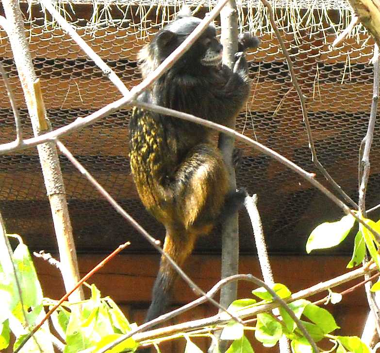 Буроголовый тамарин - Saguinus fuscicollis  (фото 1066)