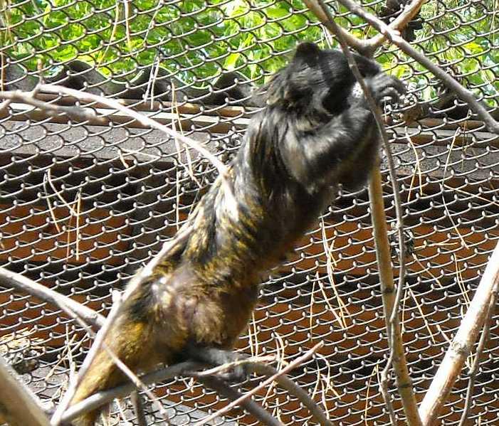 Буроголовый тамарин - Saguinus fuscicollis  (фото 1067)
