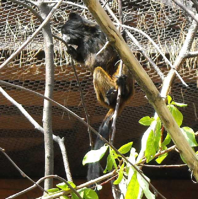 Буроголовый тамарин - Saguinus fuscicollis  (фото 1068)