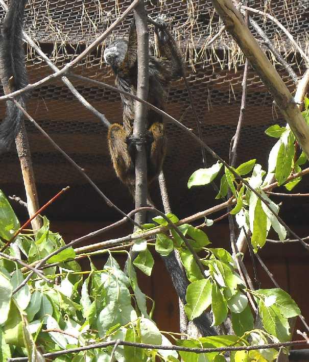 Буроголовый тамарин - Saguinus fuscicollis  (фото 1069)