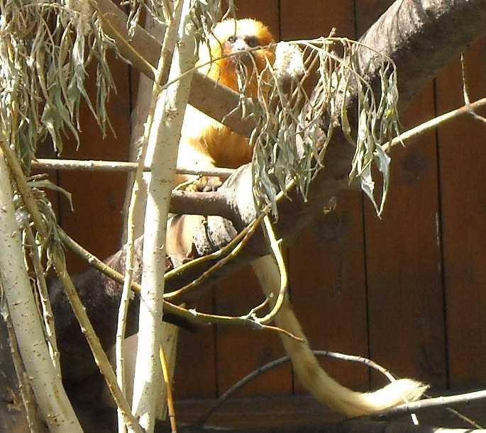 Золотистый львиный тамарин - Leontopithecus rosalia  (фото 1075)