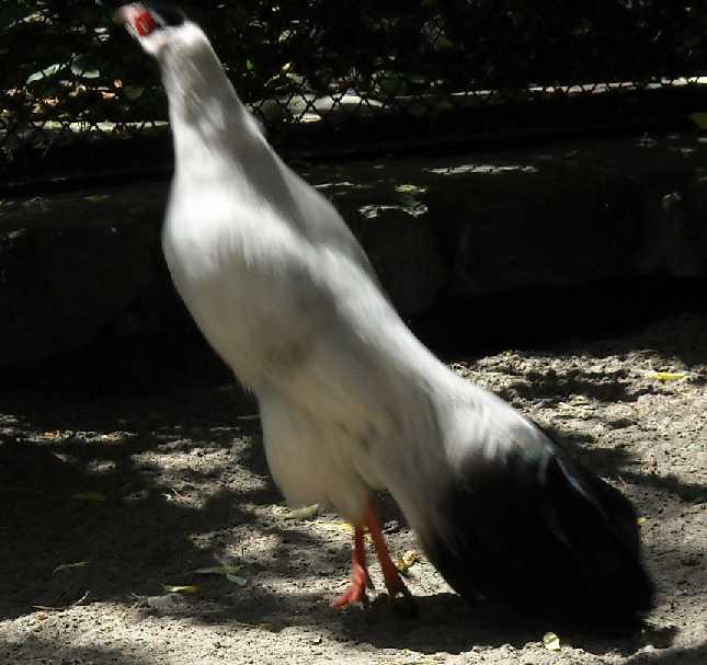 Белый ушастый фазан - Crossoptilon mantchuricum  (фото 1096)