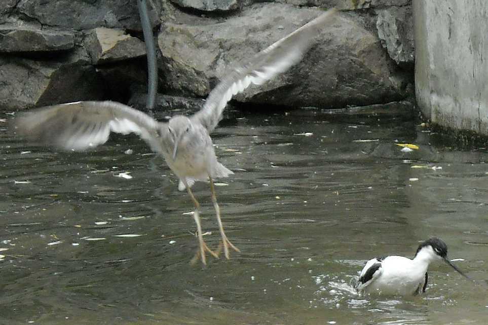 Шилоклювка - Recurvirostra avosetta  (фото 1112)