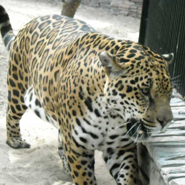 Ягуар - Panthera onca  (фото 1130)