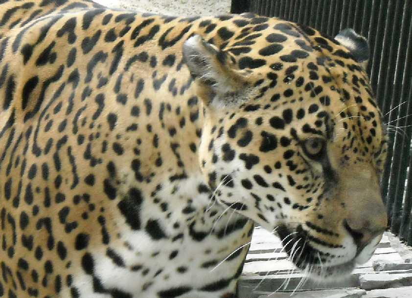 Ягуар - Panthera onca  (фото 1131)