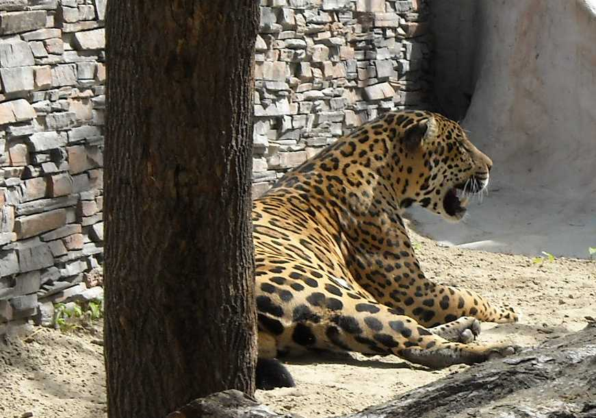 Ягуар - Panthera onca  (фото 1145)