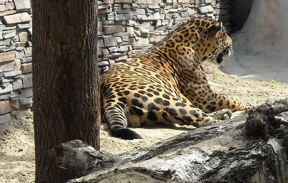 Ягуар - Panthera onca  (фото 1146)