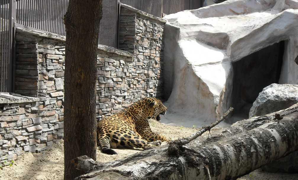 Ягуар - Panthera onca  (фото 1147)