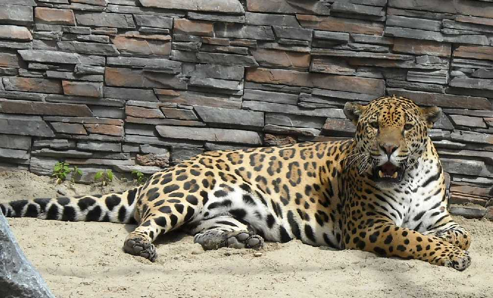 Ягуар - Panthera onca  (фото 1150)