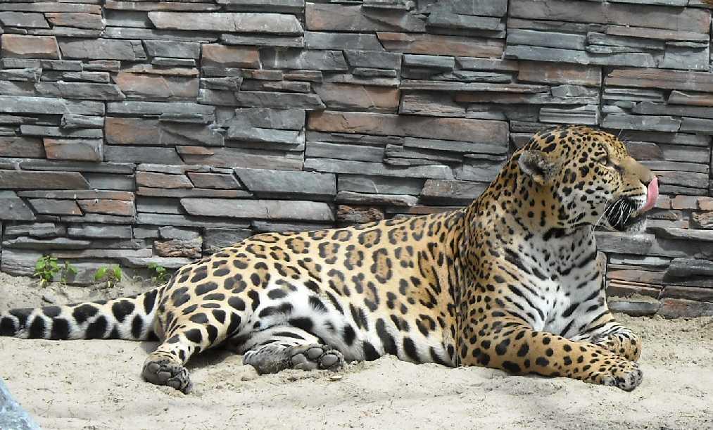 Ягуар - Panthera onca  (фото 1151)