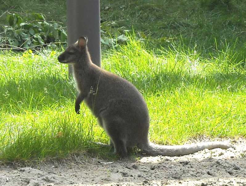 Большой серый кенгуру - Macropus giganteus  (фото 1152)