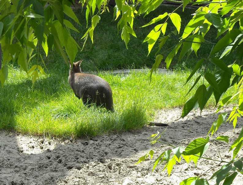 Большой серый кенгуру - Macropus giganteus  (фото 1153)