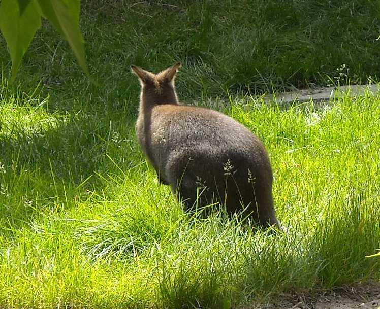 Большой серый кенгуру - Macropus giganteus  (фото 1154)
