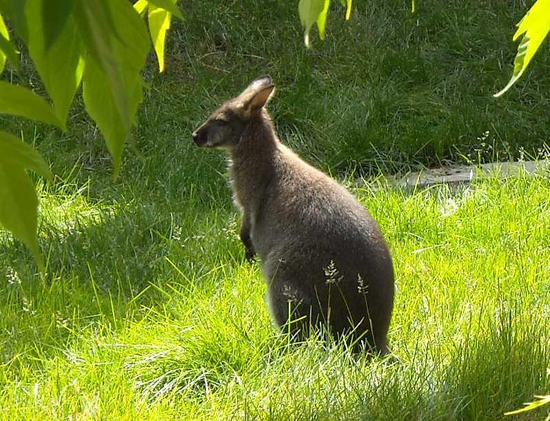 Большой серый кенгуру - Macropus giganteus  (фото 1155)