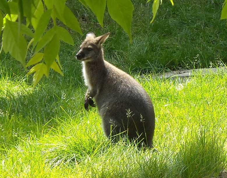 Большой серый кенгуру - Macropus giganteus  (фото 1156)