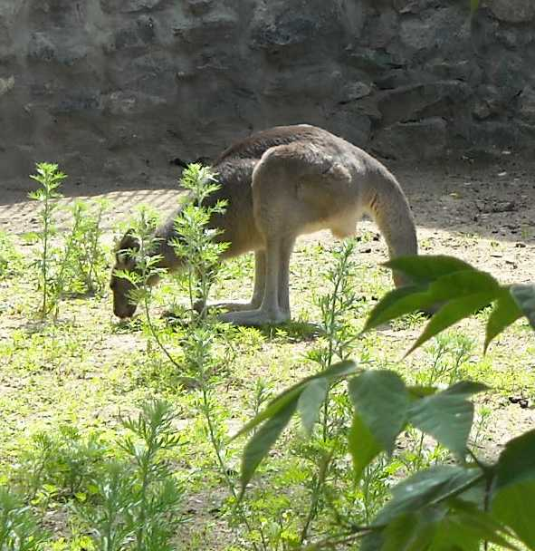 Большой серый кенгуру - Macropus giganteus  (фото 1165)